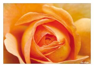 aerie_PK_Rose